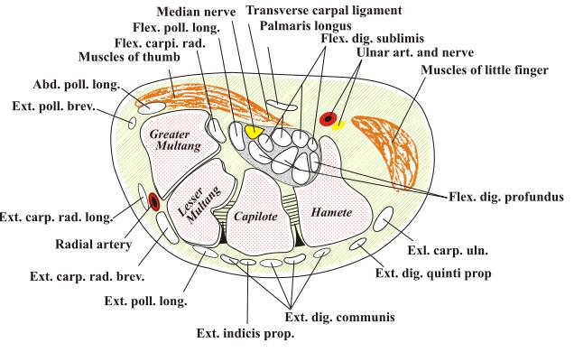 Sección transversal de la muñeca. Basada en el diagrama de la misma de la anatomía de Gray. Transverse section of the wrist. Based off Gray's anatomy diagram of the same. Fuente/Source: http://dophotoshop.com/carpal-tunnel-exercises.php - por/by DoPhotoShop