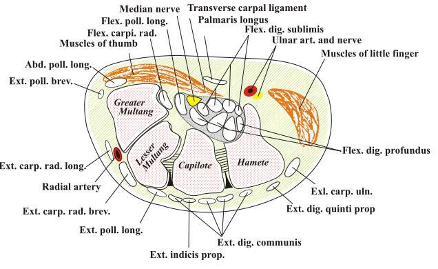 Sección transversal de la muñeca. Basada en el diagrama de la misma de la anatomía de Gray. Transverse section of the wrist. Based off Gray's anatomy diagram of the same. Fuente/Source: http://dophotoshop.com/carpal-tunnel-exercises.php - por/by DoPhotoShop